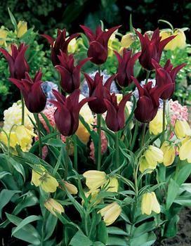 burgundy_tulip