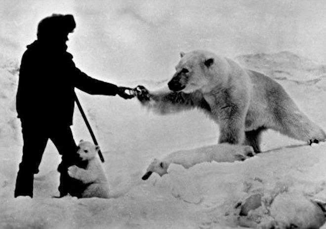 feeding a polar bear