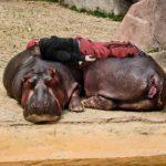 planking pi hipopotam